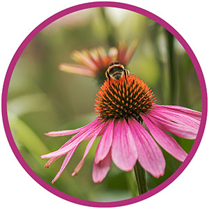 coneflower with honey bee on top