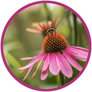 photo: coneflower with honey bee on top
