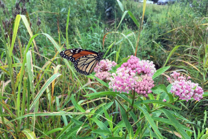 monarch butterfly on milkweed plant