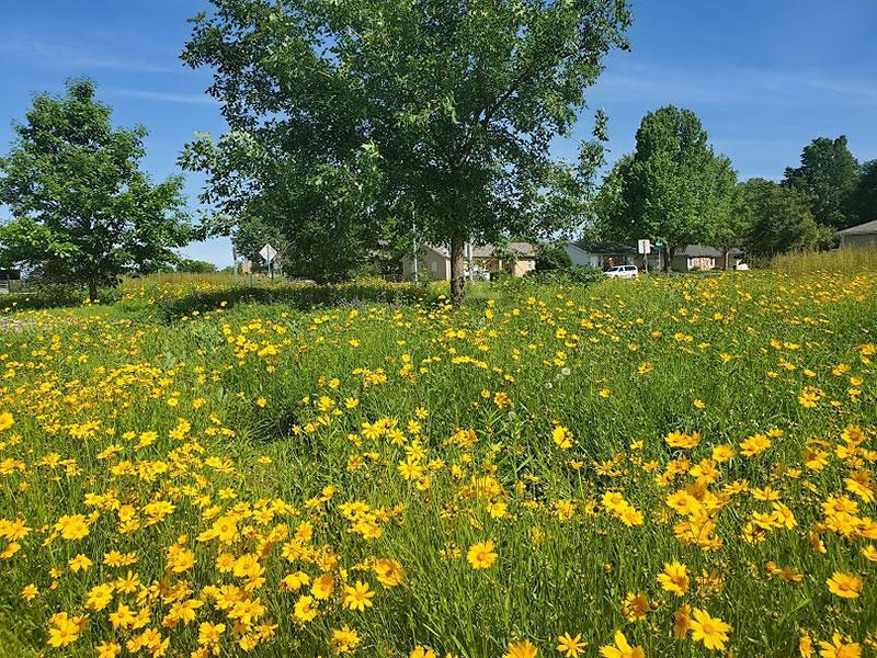 large yard full of yellow daisies